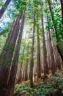 Redwood forest in national park — Stock Photo