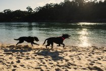 Dogs running on riverbank — Stock Photo