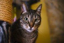 Close-up of tabby cat looking at camera — Stock Photo