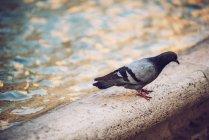 Pigeon on fountain parapet at street scene of Rome — Stock Photo