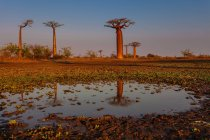 Marshy meadow with baobab trees — Stock Photo