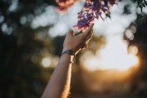 Ernte weiblichen Hand berühren Blühender Zweig im Abendlicht — Stockfoto