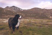 Bouvier Bernois de vallée de montagnes enneigées — Photo de stock