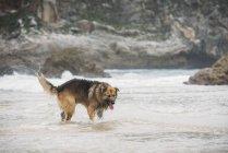 Овчарки, играя в волны на пляже — стоковое фото