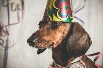 Retrato de perro salchicha en cono de papel - foto de stock