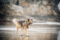 Vue latérale du chien de Berger à mouille le sable — Photo de stock