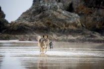 Shepherd dog running on sand beach — Stock Photo