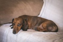 Dachshund lying on beige couch — Stock Photo