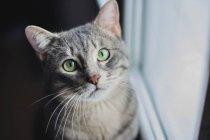 Серый кот смотрит в камеру — стоковое фото