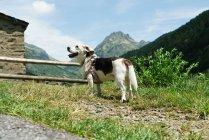 Adorabile cane sull'erba in campagna montana . — Foto stock