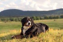 Собака лежит в траве — стоковое фото