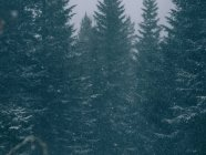 Full frame shot of evergreen huge trees in snow falling. — стоковое фото