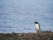 Penguin standing on seashore — Stock Photo