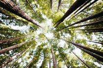 Vista inferiore dei tronchi di albero verde alto nella foresta piena di sole. — Foto stock