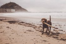 Dog playing with stick on misty seashore — Stock Photo