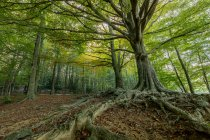 Panoramic shot of old green trees at idyllic forest — Stock Photo