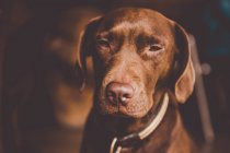 Brown labrador dog sitting on leash and squinting at camera — Stock Photo