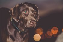 Charming dog looking away on background of night city — Stock Photo