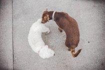Draufsicht auf zwei süße Hunde freundlich schnüffeln einander auf Spaziergang — Stockfoto