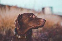 Brown labrador cane guardando da parte campagna campo — Foto stock
