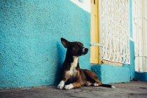 Очаровательная собака лежит у бирюзовой стены и смотрит в сторону. . — стоковое фото