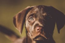 Симпатичный коричневый щенок смотрит в камеру — стоковое фото