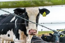 Close up view of cow standing at fence and looking at camera — Stock Photo