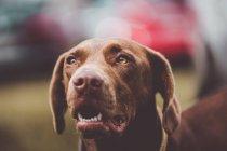 Очаровательная коричневая собака-лабрадор отворачивается — стоковое фото