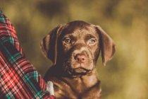 Mignon brune assise de chiot labrador près de chemise à carreaux et regardant la caméra. — Photo de stock