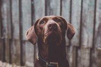 Perro mirando hacia arriba sobre fondo de pared de madera - foto de stock