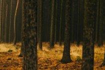 Troncs d'arbres sur pelouse dorée à l'automne — Photo de stock
