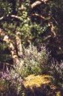 Fioritura pianta che cresce su un terreno muscoso nella foresta — Foto stock
