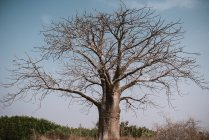 Висока кут зору сухе дерево проти синього неба — стокове фото