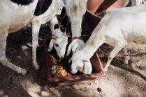 Низкий угол viwe коз, стоявших вокруг площади чаши и еды. — стоковое фото