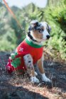 Cute leashed dog in colorful Christmas sweater sitting in nature. — Stock Photo