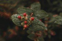 Chiuda sulla vista di frutti di bosco maturi sul cespuglio — Foto stock