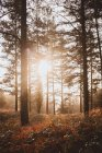 Soft sunlight shining between trees in tranquil forest — Stock Photo