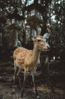 Cute little deer baby standing at posts in forest. — Stock Photo