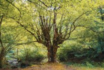 Großer grüner Baum wächst im malerischen lichten Wald. — Stockfoto
