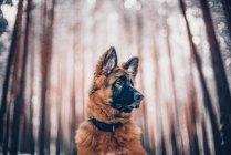 Німецька вівчарка цуценя дивлячись сторону — стокове фото