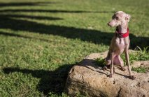 Little Italian Greyhound dog on stone at park lawn — Stock Photo
