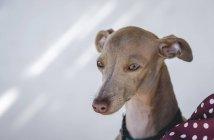 Portrait of little italian greyhound dog over white wall — Stock Photo