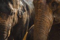 Урожай слонов головы в солнечном свете — стоковое фото