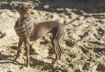 Side view of Little Italian Greyhound dog wearing scarf standing on sand — Stock Photo