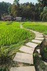 Small path in green lawns of growing rice — Stock Photo