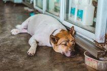 Joufflu chien avec des sourcils dessinés dormir sur le plancher — Photo de stock