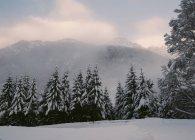 Переглянути смерекові дерева лісу покриті снігом над гір, Туманний — стокове фото