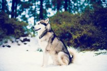 Cute Husky sitting in winter snows and looking at forest. — Stock Photo