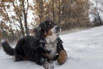 Бернская горная собака лежит в снегу — стоковое фото