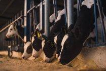 Bezerros no curral na fazenda — Fotografia de Stock